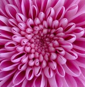 petals - photography SJMH